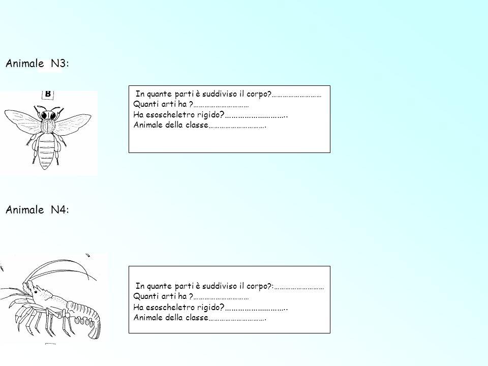 In quante parti è suddiviso il corpo?……………………… Quanti arti ha ?………………………… Ha esoscheletro rigido ?……………………….. Animale della classe…………………………. In quant