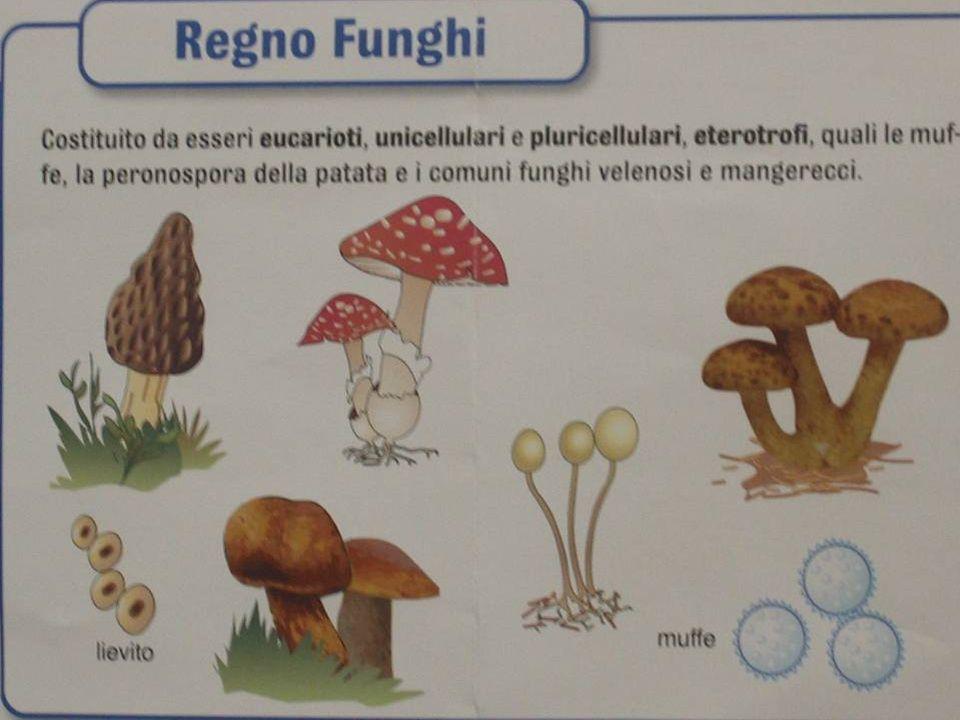 I funghi non sono solo quelli con il cappello.Esistono anche funghi microscopici quali i lieviti.