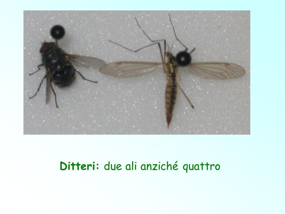 Ditteri: due ali anziché quattro