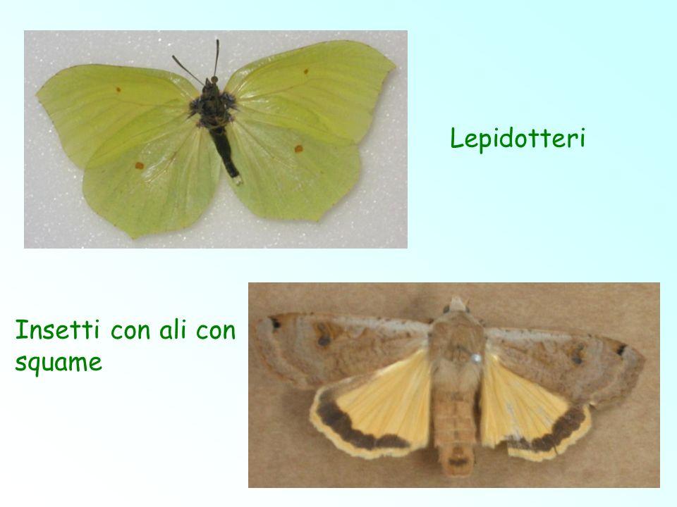Lepidotteri Insetti con ali con squame
