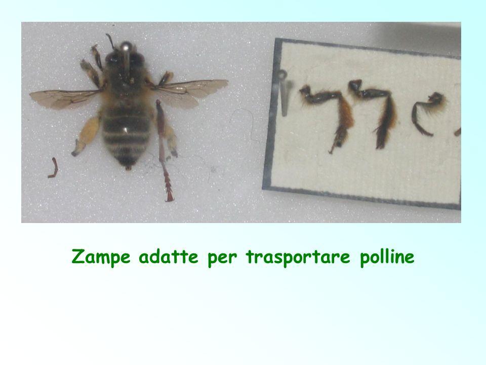 Zampe adatte per trasportare polline