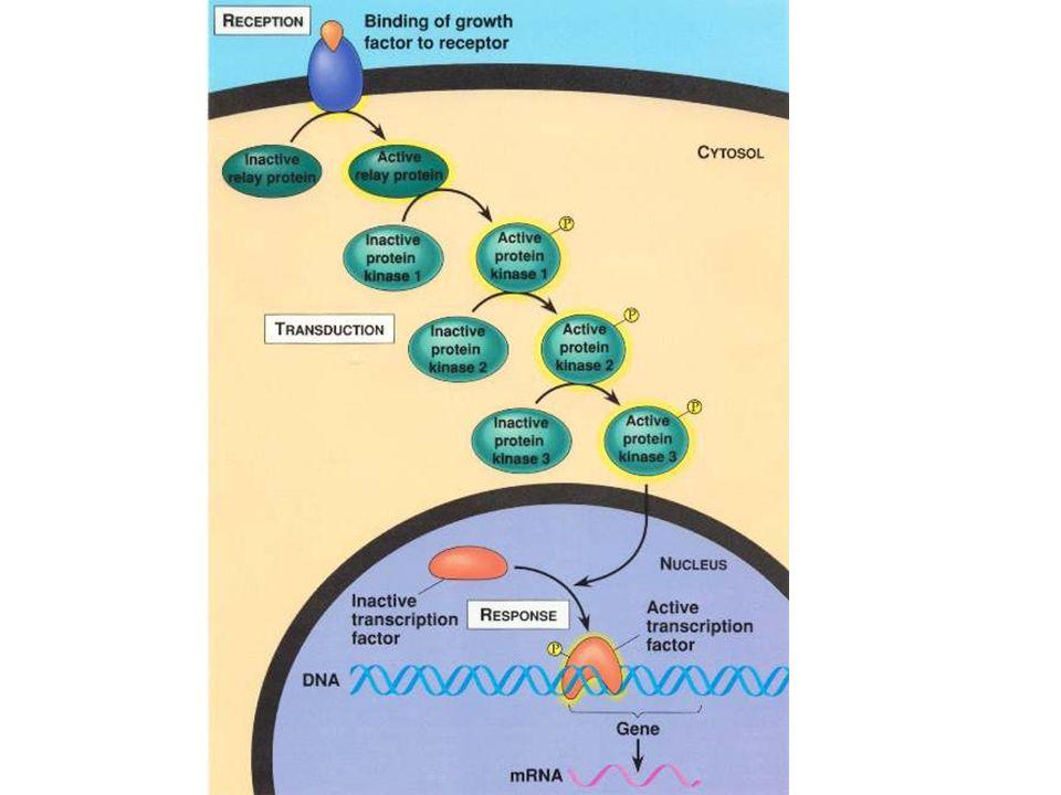 Il legame di una molecola messaggio (ormone, neuro-trasmettitore, citochina, integrina…) con il suo recettore può essere tradotta come: Attivazione chinasi Attivazione fattori di trascrizione Modifica potenziale di membrana