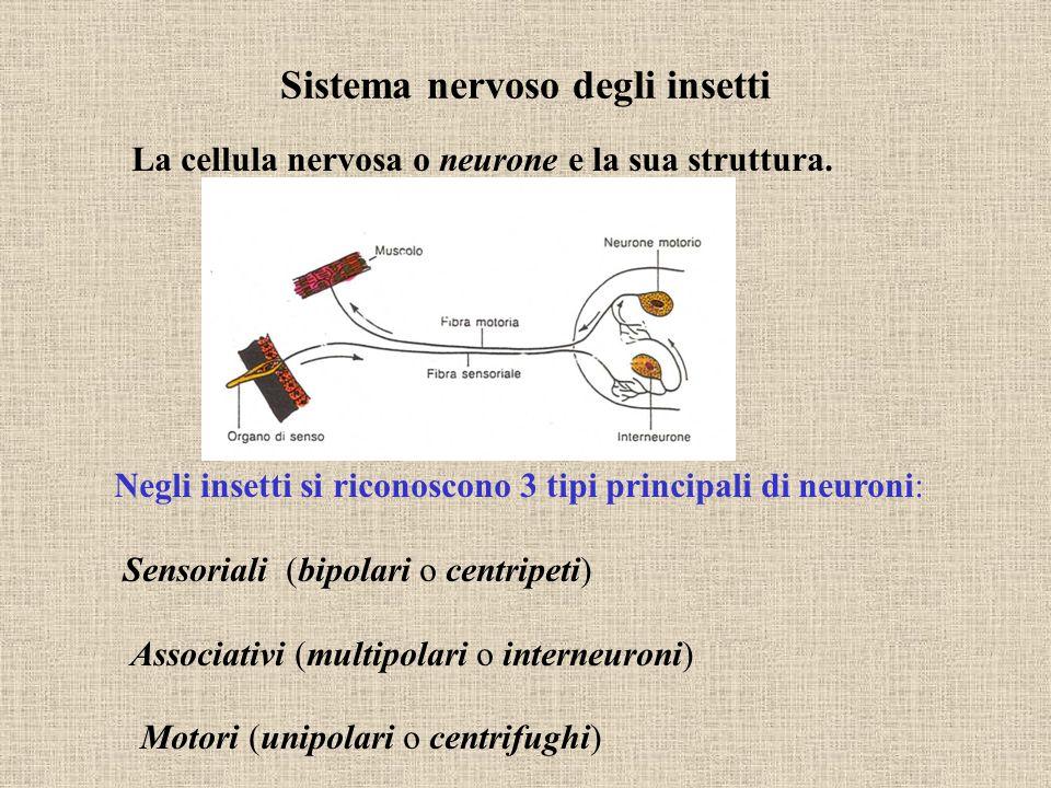 La cellula nervosa o neurone e la sua struttura. Negli insetti si riconoscono 3 tipi principali di neuroni: Sensoriali (bipolari o centripeti) Associa