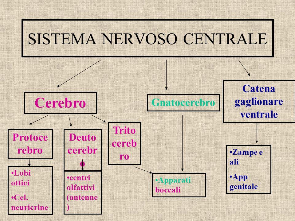 SISTEMA NERVOSO CENTRALE Cerebro Gnatocerebro Catena gaglionare ventrale Protoce rebro Deuto cerebr o Trito cereb ro Lobi ottici Cel. neuricrine centr