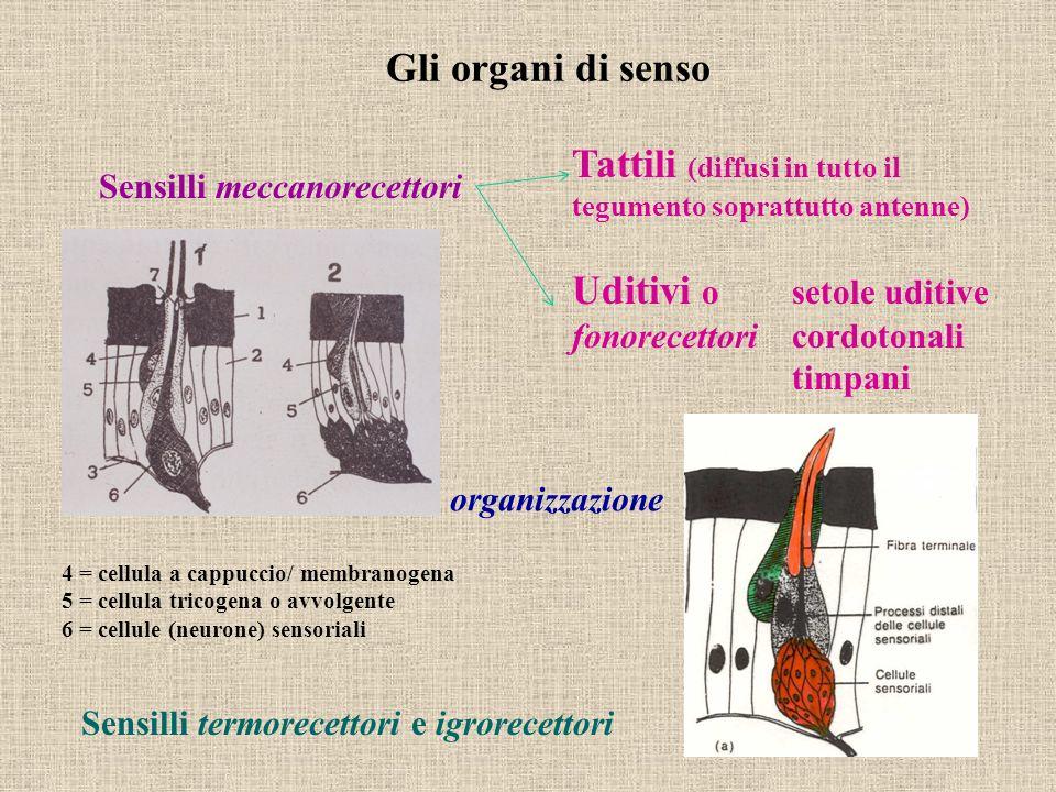 Sensilli meccanorecettori Tattili (diffusi in tutto il tegumento soprattutto antenne) Uditivi o setole uditive fonorecettori cordotonali timpani Sensi