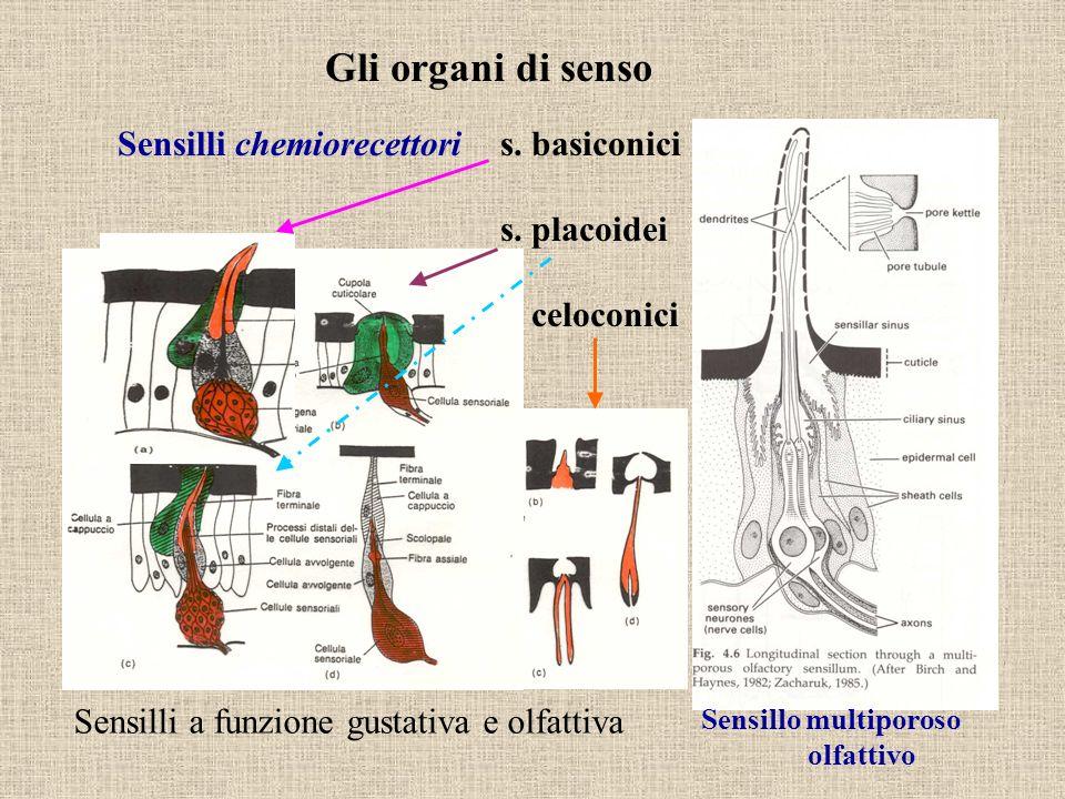 Gli organi di senso Sensilli chemiorecettoris. basiconici s. placoidei s. celoconici Sensillo multiporoso olfattivo Sensilli a funzione gustativa e ol