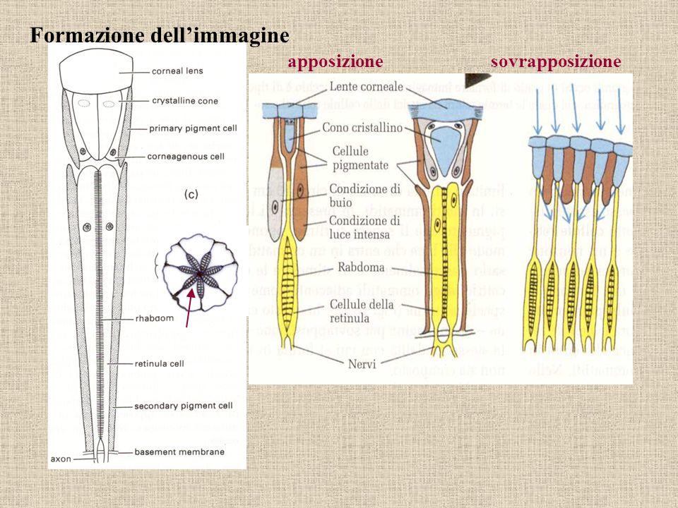 Formazione dellimmagine apposizionesovrapposizione