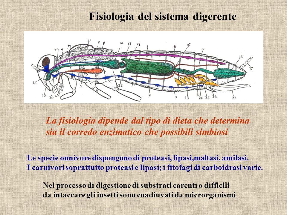 Fisiologia del sistema digerente La fisiologia dipende dal tipo di dieta che determina sia il corredo enzimatico che possibili simbiosi Nel processo d
