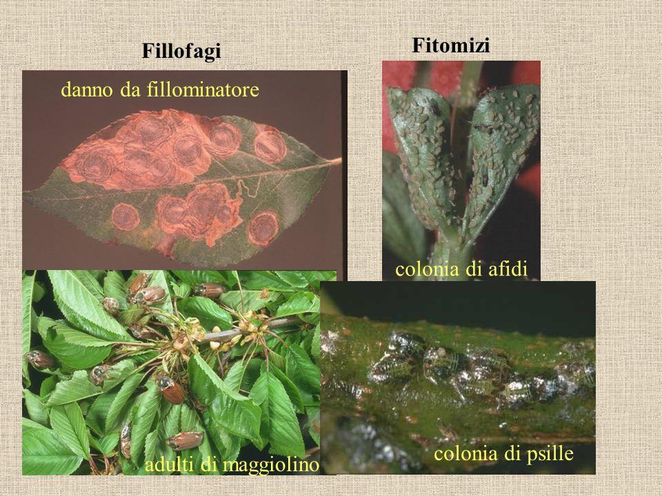 Fillofagi Fitomizi danno da fillominatore adulti di maggiolino colonia di afidi colonia di psille