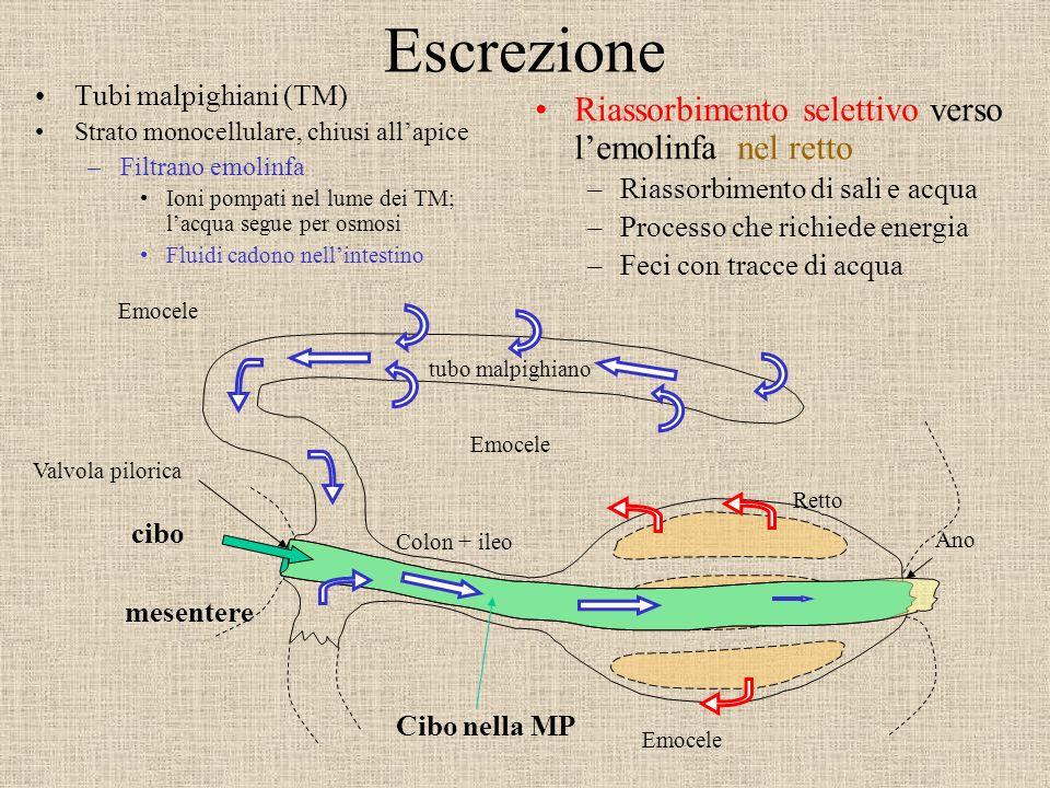 Valvola pilorica Ano Retto Colon + ileo Emocele Escrezione Tubi malpighiani (TM) Strato monocellulare, chiusi allapice –Filtrano emolinfa Ioni pompati