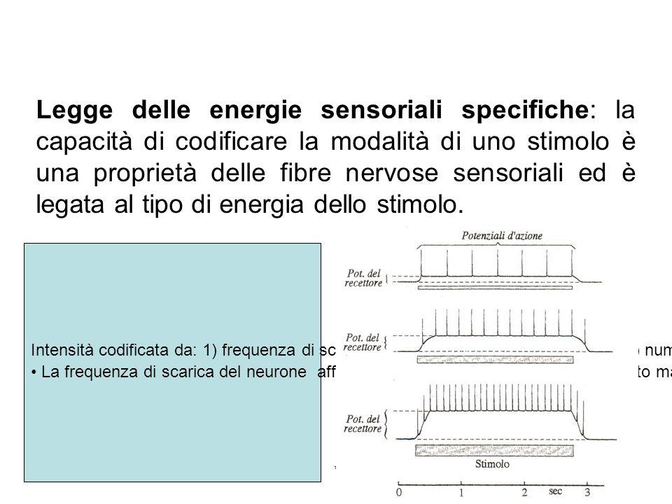 17/11/2013* Legge delle energie sensoriali specifiche: la capacità di codificare la modalità di uno stimolo è una proprietà delle fibre nervose sensor