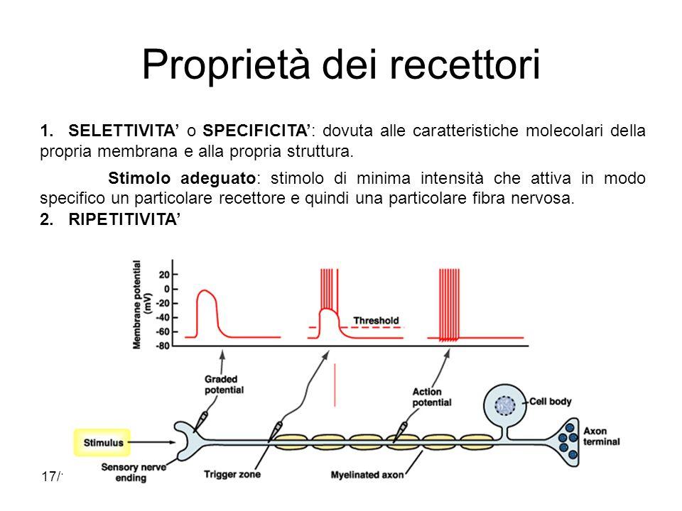 17/11/2013* Campi recettivi Per i neuroni di ordine superiore i campi recettivi divengono più complessi; inoltre, poiché nei diversi nuclei si può avere linterposizione di neuroni inibitori, i campi recettivi possono assumere carattere misto, eccitatorio e inibitorio.