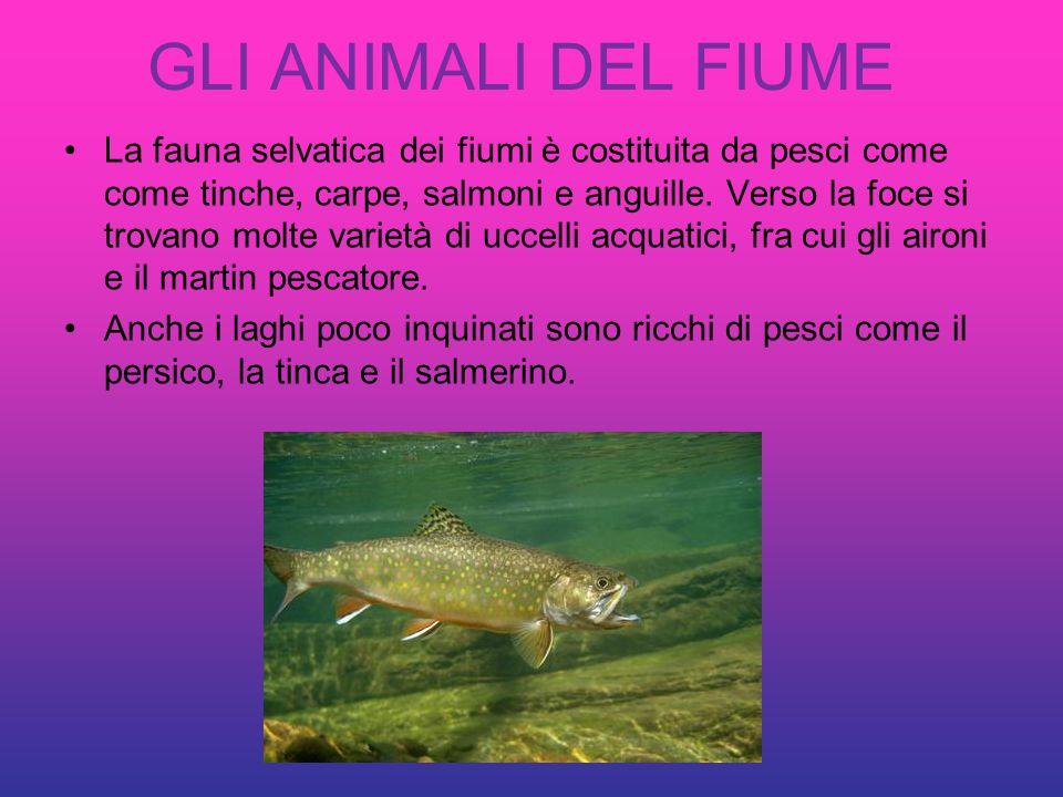 GLI ANIMALI DEL FIUME La fauna selvatica dei fiumi è costituita da pesci come come tinche, carpe, salmoni e anguille. Verso la foce si trovano molte v