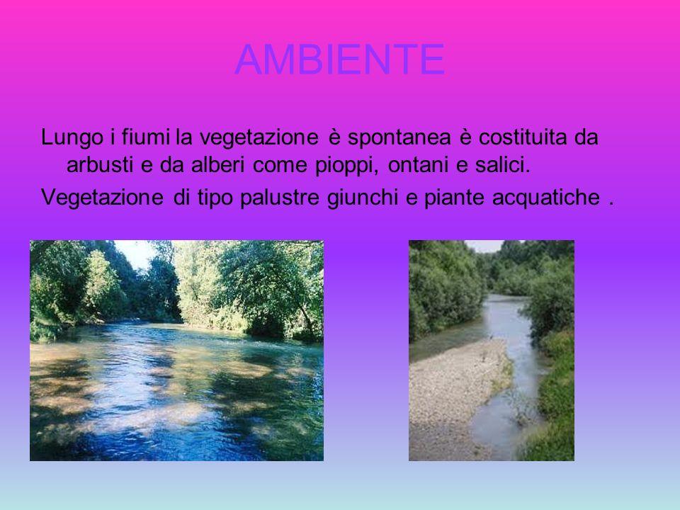 AMBIENTE Lungo i fiumi la vegetazione è spontanea è costituita da arbusti e da alberi come pioppi, ontani e salici. Vegetazione di tipo palustre giunc