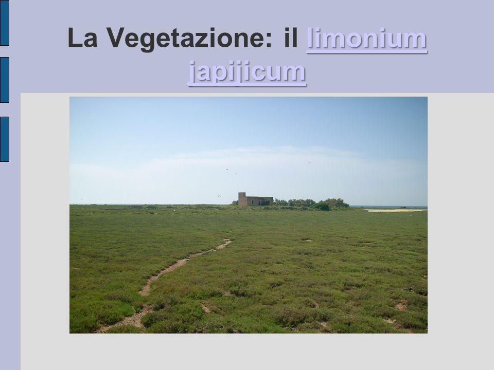 limonium japijicum limonium japijicum La Vegetazione: il limonium japijicumlimonium japijicum