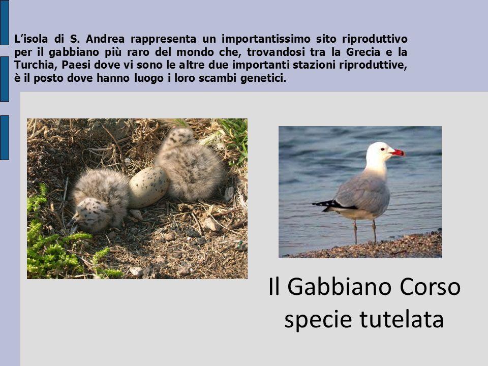 Lisola di S. Andrea rappresenta un importantissimo sito riproduttivo per il gabbiano più raro del mondo che, trovandosi tra la Grecia e la Turchia, Pa