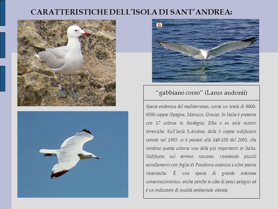 CARATTERISTICHE DELLISOLA DI SANTANDREA: gabbiano corso (Larus audonii) Specie endemica del mediterraneo, conta un totale di 9000- 9500 coppie (Spagna
