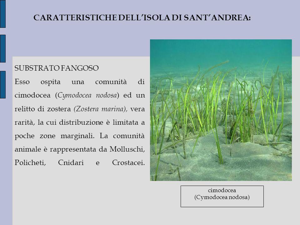 SUBSTRATO FANGOSO Esso ospita una comunità di cimodocea ( Cymodocea nodosa ) ed un relitto di zostera (Zostera marina), vera rarità, la cui distribuzi