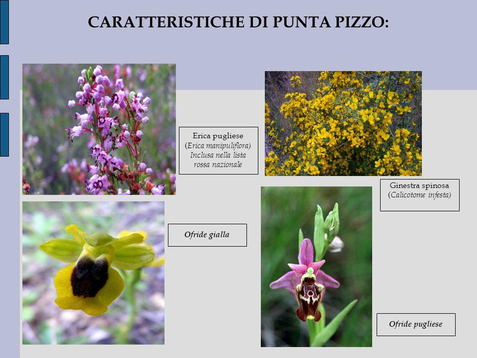 CARATTERISTICHE DI PUNTA PIZZO: Ofride gialla Erica pugliese ( Erica manipuliflora) Inclusa nella lista rossa nazionale Ginestra spinosa ( Calicotome
