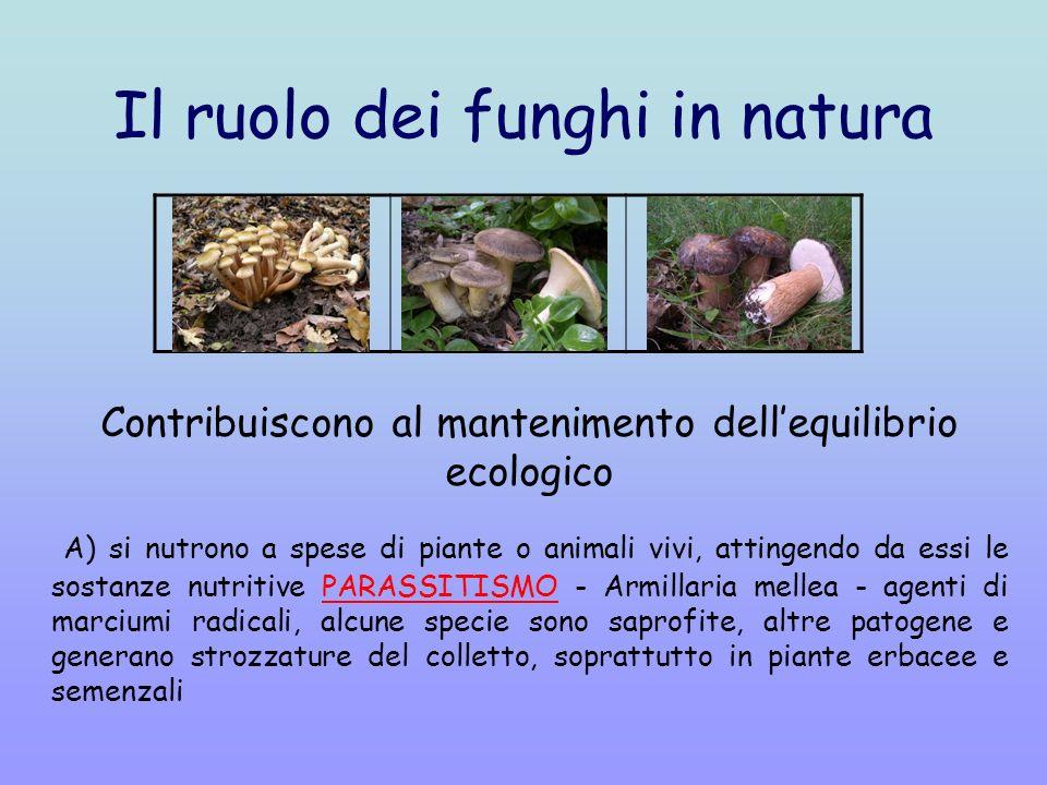 Il ruolo dei funghi in natura Contribuiscono al mantenimento dellequilibrio ecologico A) si nutrono a spese di piante o animali vivi, attingendo da essi le sostanze nutritive PARASSITISMO - Armillaria mellea - agenti di marciumi radicali, alcune specie sono saprofite, altre patogene e generano strozzature del colletto, soprattutto in piante erbacee e semenzali