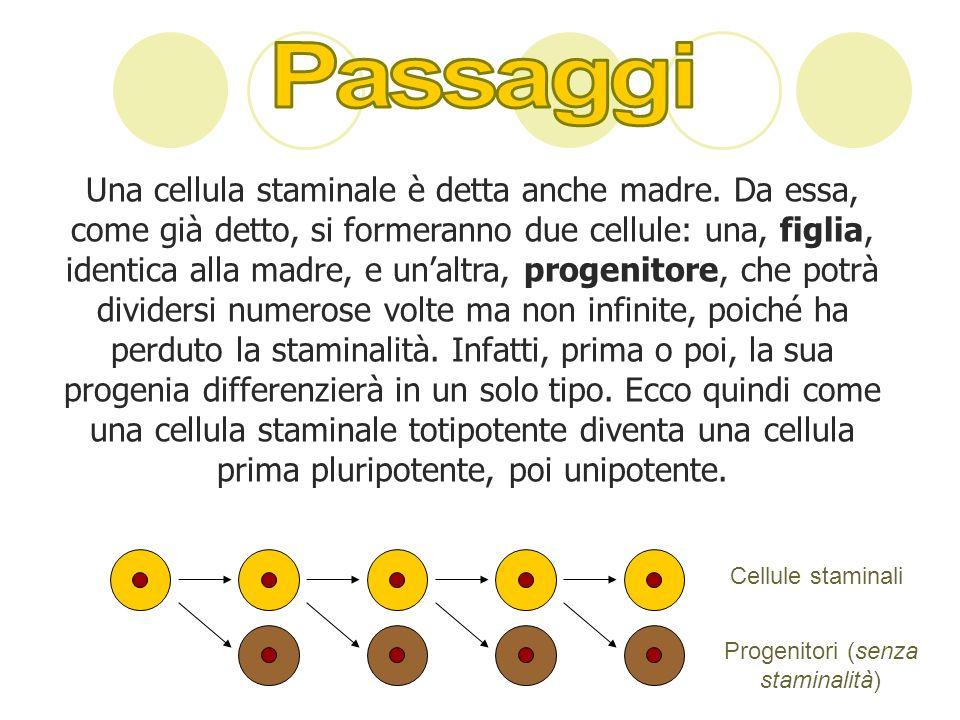 Una cellula staminale è detta anche madre. Da essa, come già detto, si formeranno due cellule: una, figlia, identica alla madre, e unaltra, progenitor