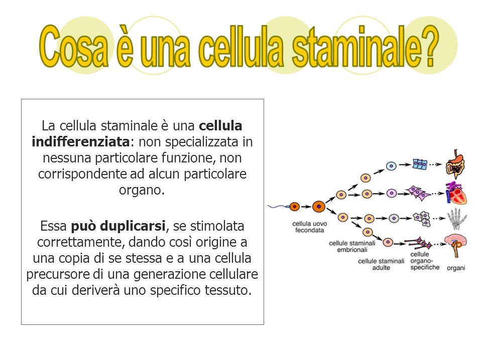 La cellula staminale è una cellula indifferenziata: non specializzata in nessuna particolare funzione, non corrispondente ad alcun particolare organo.