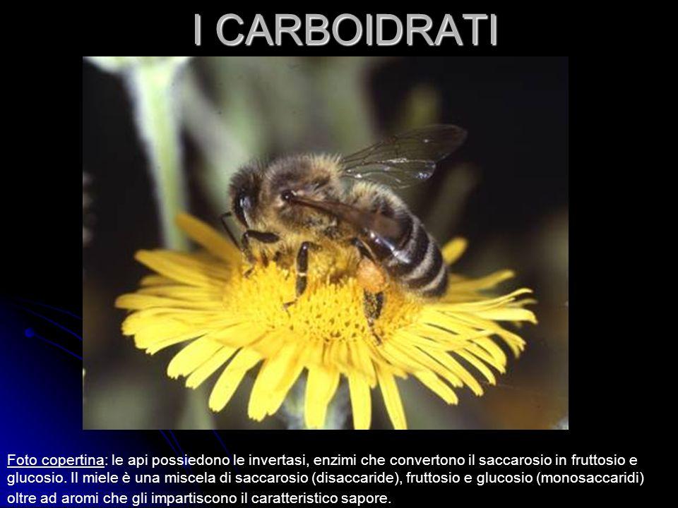 I CARBOIDRATI Foto copertina: le api possiedono le invertasi, enzimi che convertono il saccarosio in fruttosio e glucosio.