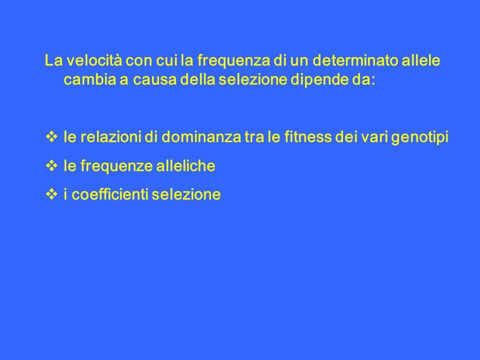 La velocità con cui la frequenza di un determinato allele cambia a causa della selezione dipende da: le relazioni di dominanza tra le fitness dei vari