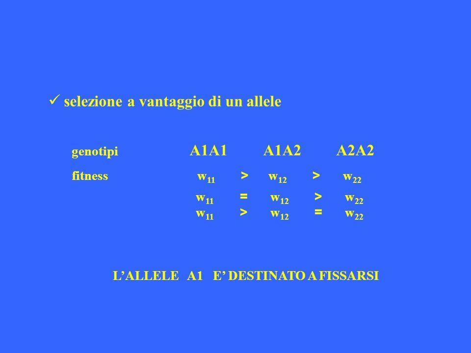 selezione a vantaggio di un allele genotipi A1A1 A1A2 A2A2 fitness w 11 > w 12 > w 22 w 11 = w 12 > w 22 w 11 > w 12 = w 22 LALLELE A1 E DESTINATO A F