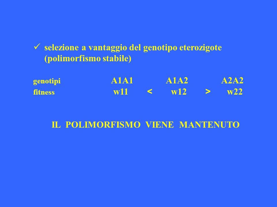 selezione a vantaggio del genotipo eterozigote (polimorfismo stabile) genotipi A1A1 A1A2 A2A2 fitness w11 w22 IL POLIMORFISMO VIENE MANTENUTO