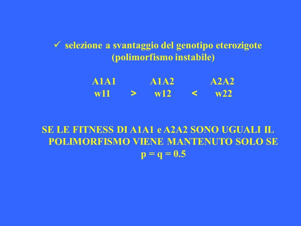 selezione a svantaggio del genotipo eterozigote (polimorfismo instabile) A1A1 A1A2 A2A2 w11 > w12 < w22 SE LE FITNESS DI A1A1 e A2A2 SONO UGUALI IL PO