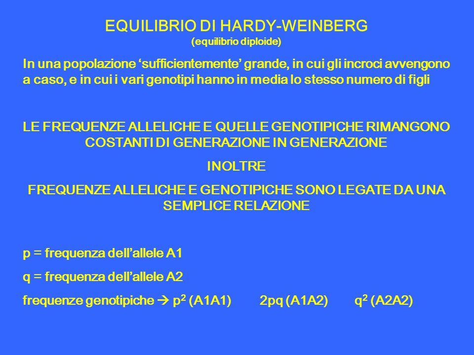 EQUILIBRIO DI HARDY-WEINBERG (equilibrio diploide) In una popolazione sufficientemente grande, in cui gli incroci avvengono a caso, e in cui i vari ge