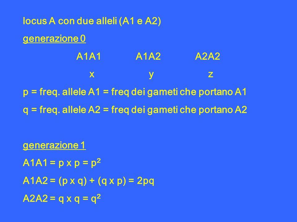 locus A con due alleli (A1 e A2) generazione 0 A1A1A1A2A2A2 x y z p = freq. allele A1 = freq dei gameti che portano A1 q = freq. allele A2 = freq dei