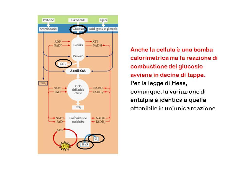 Anche la cellula è una bomba calorimetrica ma la reazione di combustione del glucosio avviene in decine di tappe.