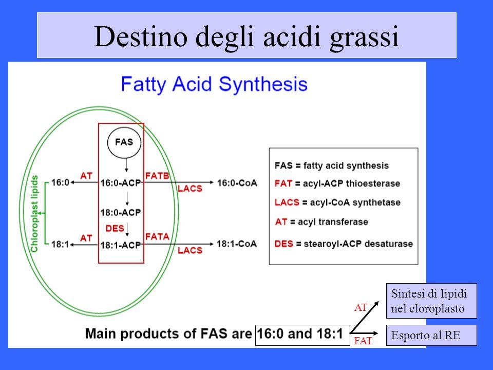 Destino degli acidi grassi Sintesi di lipidi nel cloroplasto AT Esporto al RE FAT