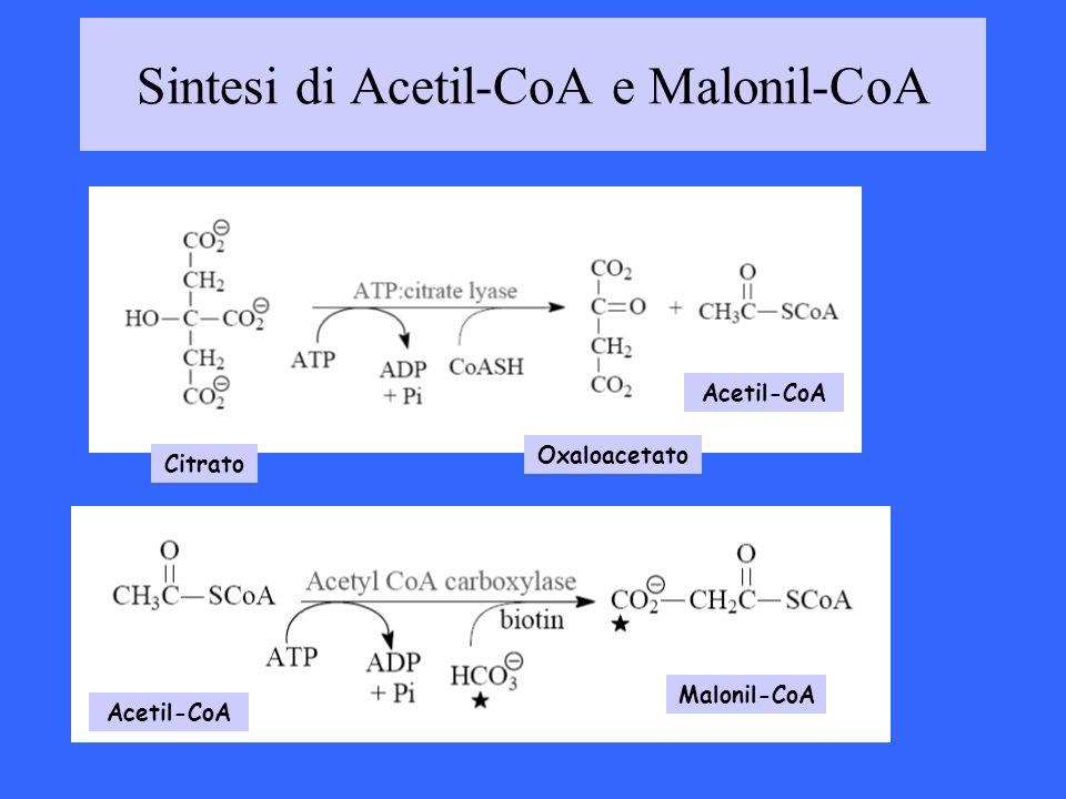 Sintesi di Acetil-CoA e Malonil-CoA Citrato Oxaloacetato Acetil-CoA Malonil-CoA