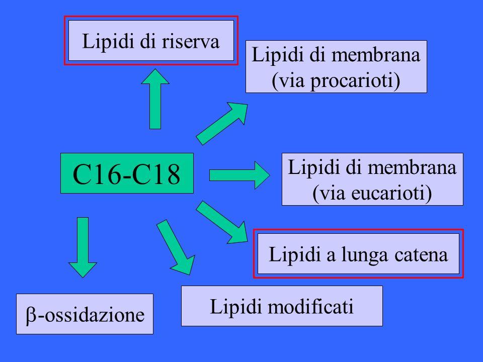 C16-C18 Lipidi di riserva Lipidi di membrana (via procarioti) Lipidi di membrana (via eucarioti) Lipidi a lunga catena -ossidazione Lipidi modificati