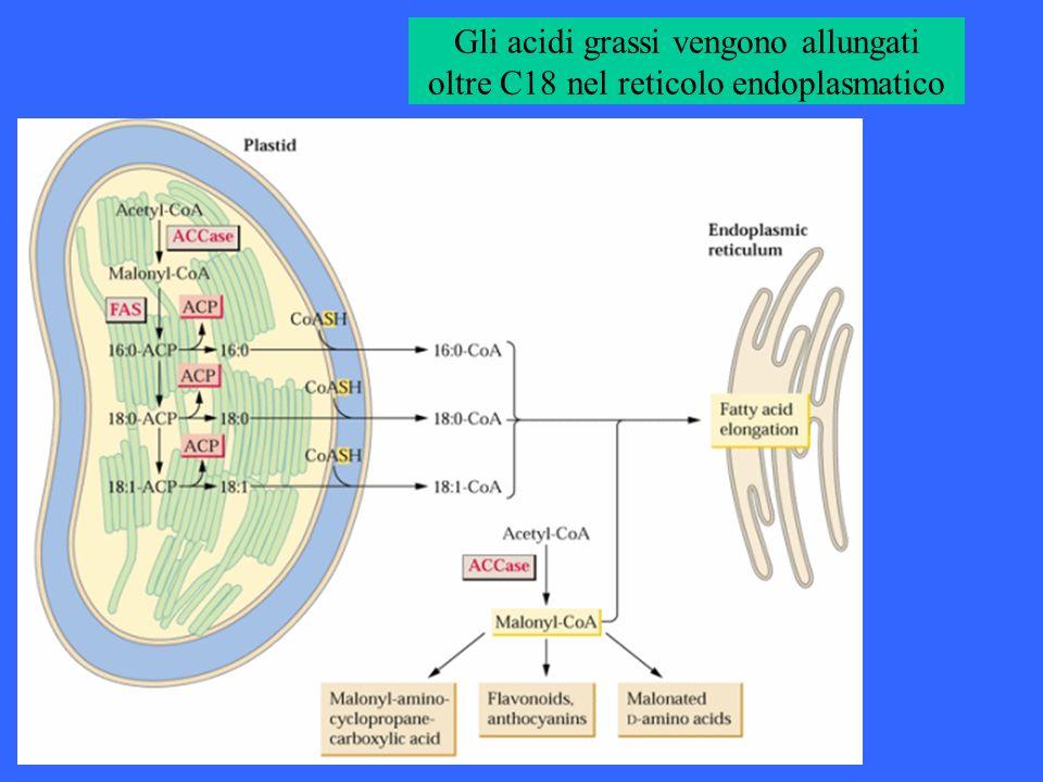 Gli acidi grassi vengono allungati oltre C18 nel reticolo endoplasmatico