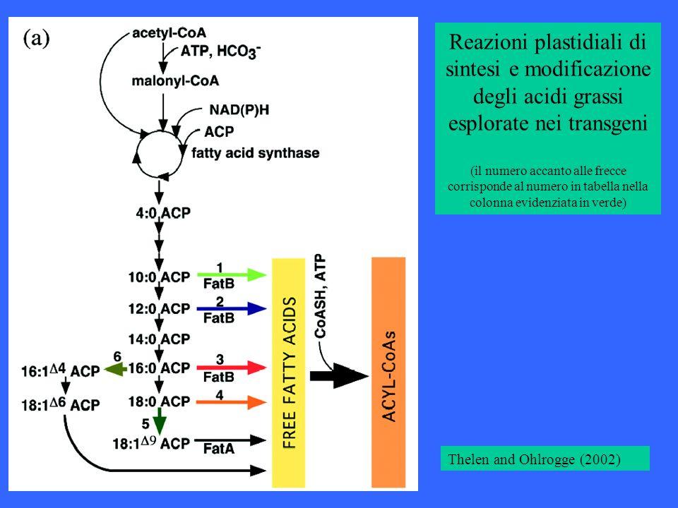 Reazioni plastidiali di sintesi e modificazione degli acidi grassi esplorate nei transgeni (il numero accanto alle frecce corrisponde al numero in tab