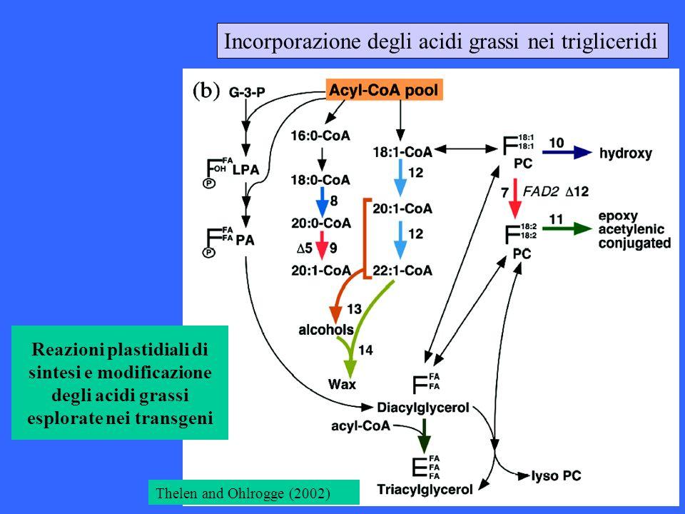 Incorporazione degli acidi grassi nei trigliceridi Thelen and Ohlrogge (2002) Reazioni plastidiali di sintesi e modificazione degli acidi grassi esplo