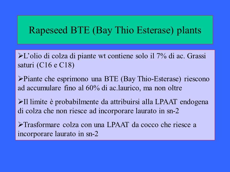 Rapeseed BTE (Bay Thio Esterase) plants Lolio di colza di piante wt contiene solo il 7% di ac. Grassi saturi (C16 e C18) Piante che esprimono una BTE