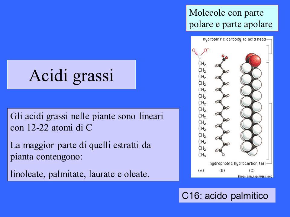 Acidi grassi C16: acido palmitico Molecole con parte polare e parte apolare Gli acidi grassi nelle piante sono lineari con 12-22 atomi di C La maggior