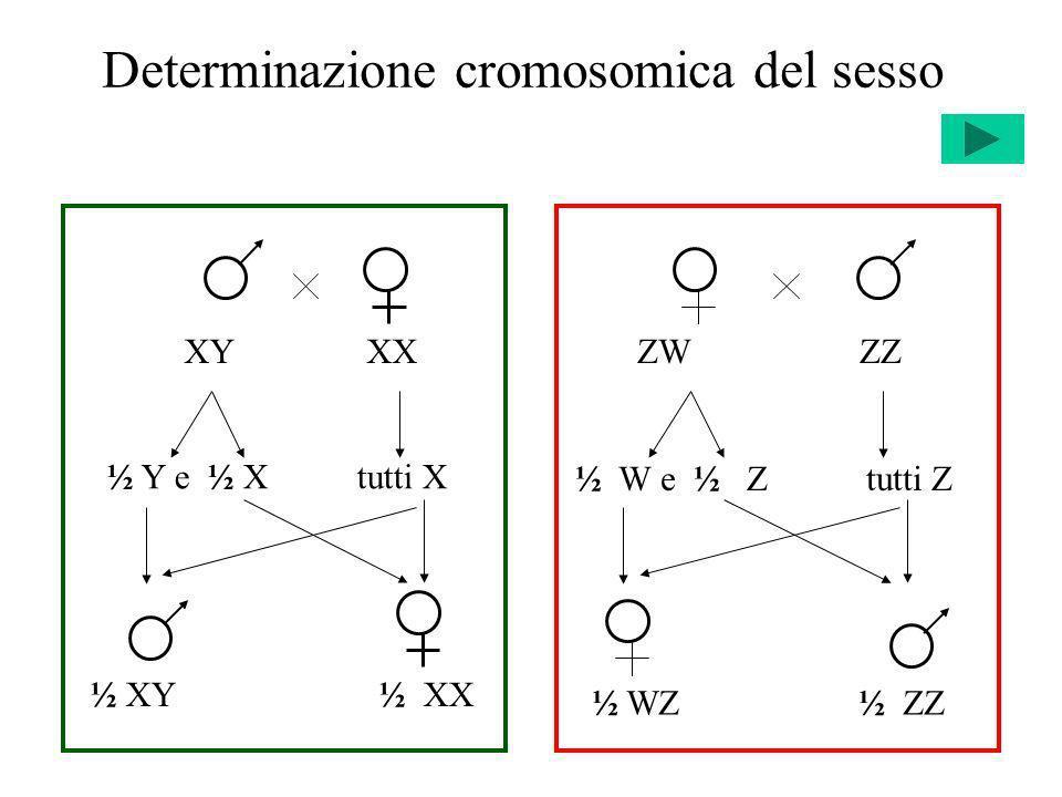 Eredità legata al sesso Gameti X W 1/2 Y 1/2 X W 1/2 X W 1/4 X W Y 1/4 X w 1/2 X w X W 1/4 X w Y 1/4 Gameti X w 1/2 Y 1/2 X W 1/2 X W X w 1/4 X W Y 1/4 X w 1/2 X w X w 1/4 X w Y 1/4 X W X W X w Y P X W X w X W Y F1F1 X W X w X w YF1F1 F2F2 F2F2 X w X w X W Y P