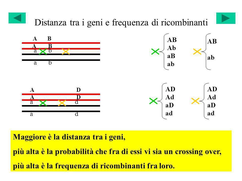 Distanza tra i geni e frequenza di ricombinanti A B a b A D a d AB Ab aB ab AB ab AD Ad aD ad AD Ad aD ad Maggiore è la distanza tra i geni, più alta
