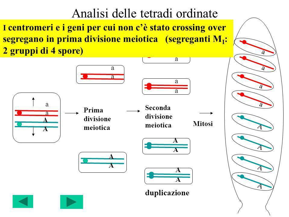 Analisi delle tetradi ordinate a A Prima divisione meiotica Seconda divisione meiotica Mitosi duplicazione a A a a a A A A a a a a A A A A A a I centr