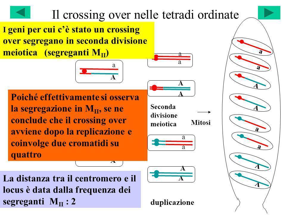Il crossing over nelle tetradi ordinate a Seconda divisione meiotica Mitosi duplicazione a A A a Prima divisione meiotica a A a A A A a a a A A a A A