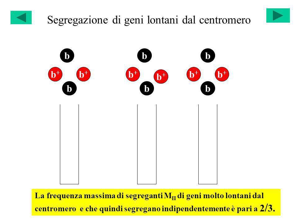 Segregazione di geni lontani dal centromero b b+b+ b b+b+ b b+b+ b b+b+ b b+b+ b b+b+ La frequenza massima di segreganti M II di geni molto lontani da