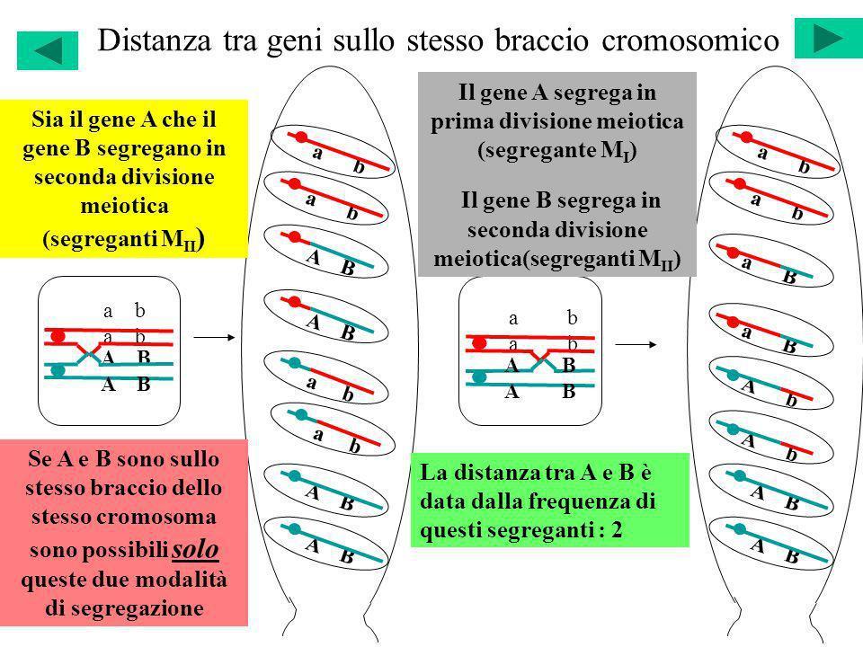 Distanza tra geni sullo stesso braccio cromosomico a b A B a b A B a b A B a b A B a b A B a b a B A b a B A b Sia il gene A che il gene B segregano i