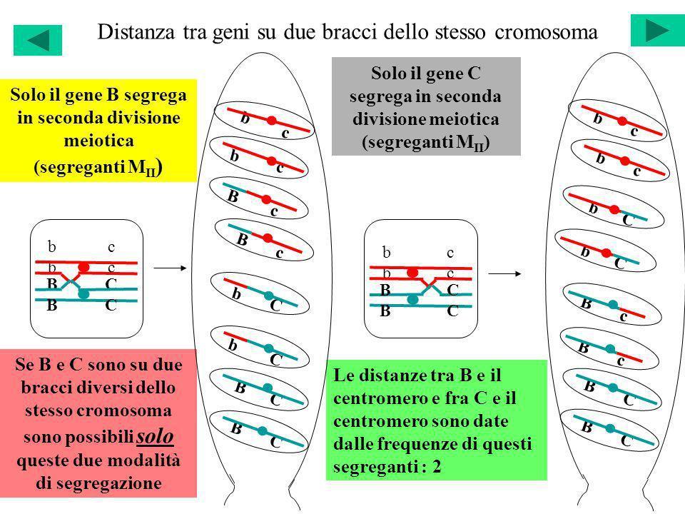 Distanza tra geni su due bracci dello stesso cromosoma b c B C b c B C Solo il gene B segrega in seconda divisione meiotica (segreganti M II ) Solo il