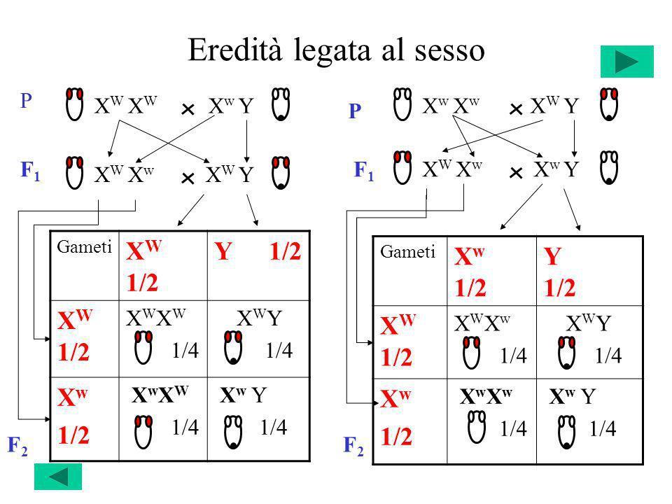 Eredità legata al sesso Gameti X W 1/2 Y 1/2 X W 1/2 X W 1/4 X W Y 1/4 X w 1/2 X w X W 1/4 X w Y 1/4 Gameti X w 1/2 Y 1/2 X W 1/2 X W X w 1/4 X W Y 1/